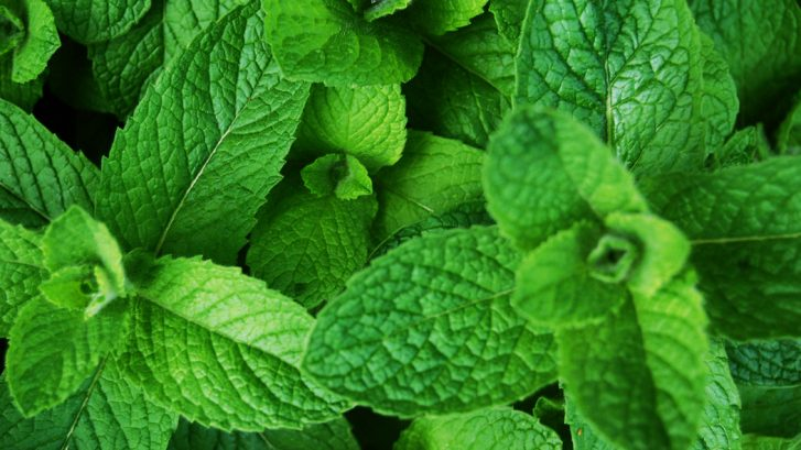 Herbal Spotlight: Peppermint | Tree of Qi